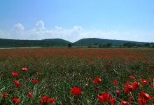 Photography by Jean-Lucien Guillaume : Coquelicots, Pouilles, Italie, 2011